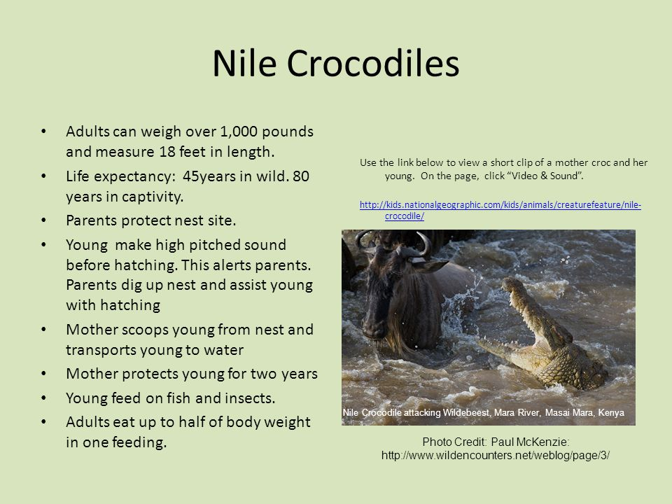 Nile Crocodiles Adults can weigh over 1,000 pounds and measure 18 feet in length. Life expectancy: 45years in wild. 80 years in captivity.