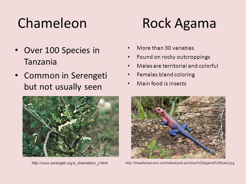 Chameleon Rock Agama Over 100 Species in Tanzania