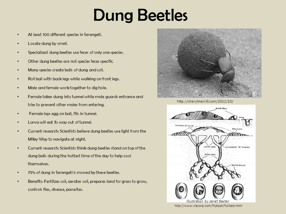 Dung Beetles At least 100 different species in Serengeti. Locate dung by smell. Specialized dung beetles use feces of only one species.