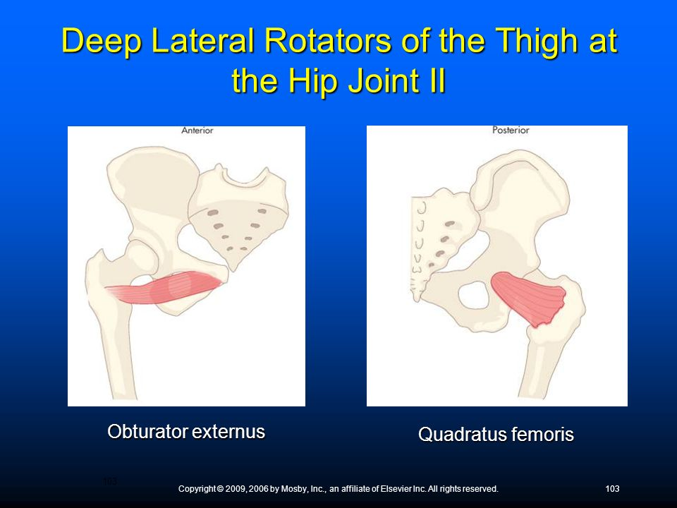 Deep Lateral Rotators of the Thigh at the Hip Joint II