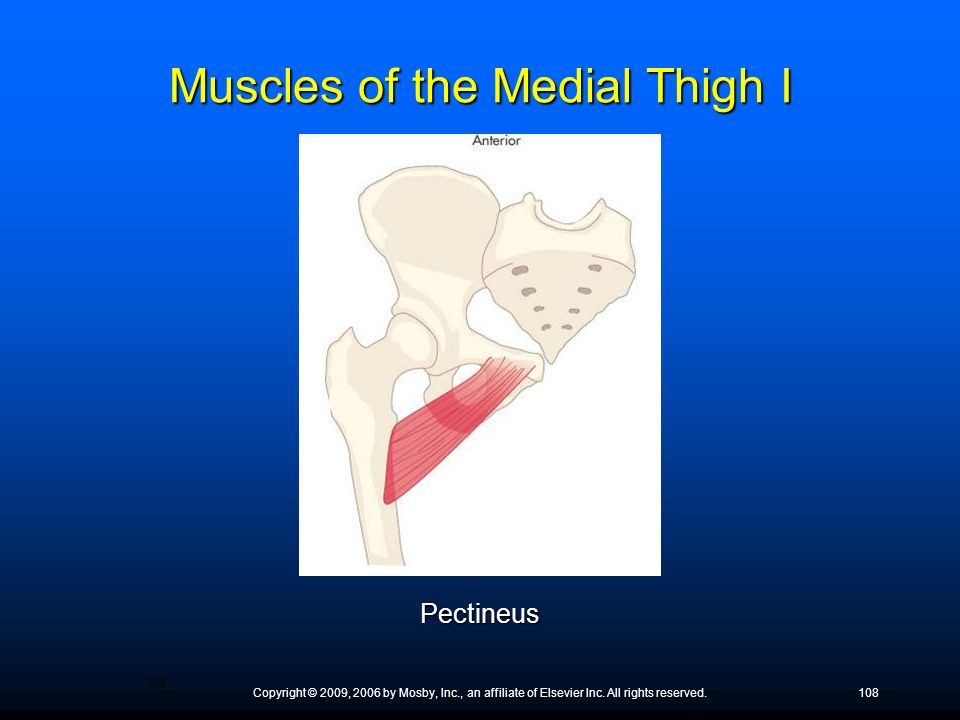Muscles of the Medial Thigh I