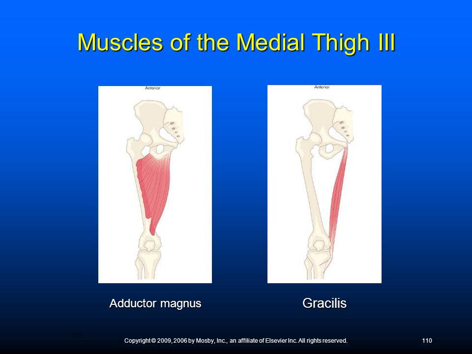 Muscles of the Medial Thigh III
