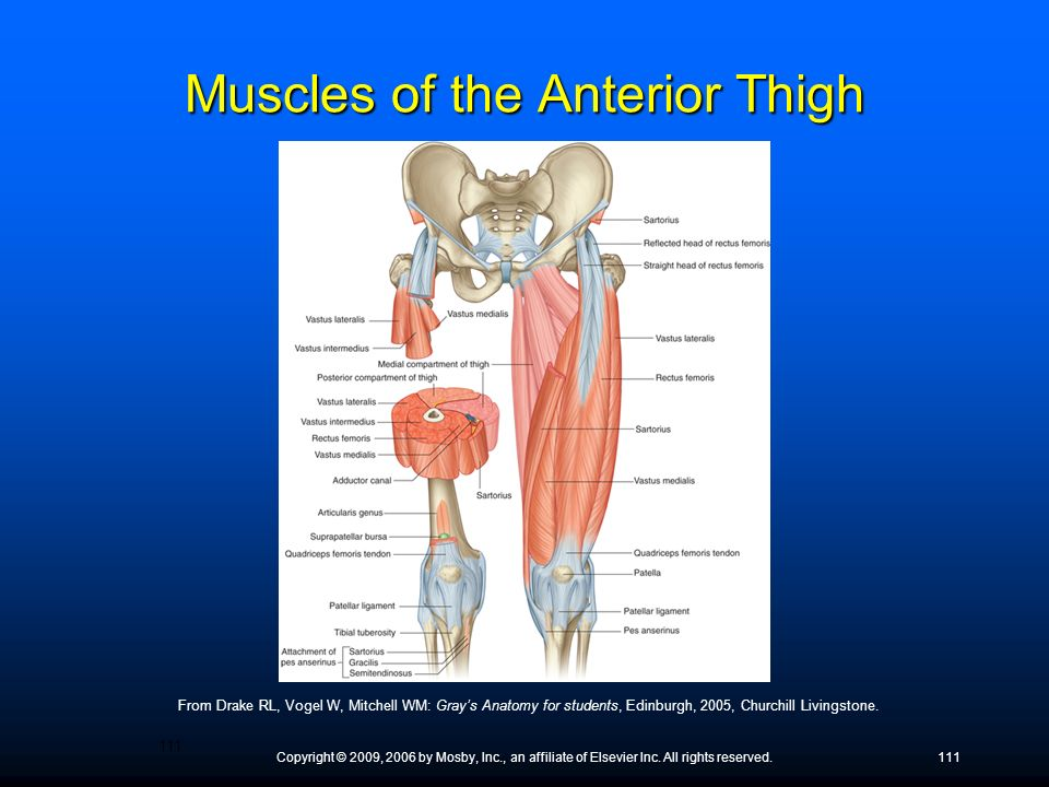 Muscles of the Anterior Thigh