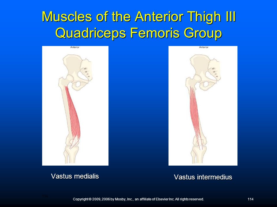 Muscles of the Anterior Thigh III Quadriceps Femoris Group