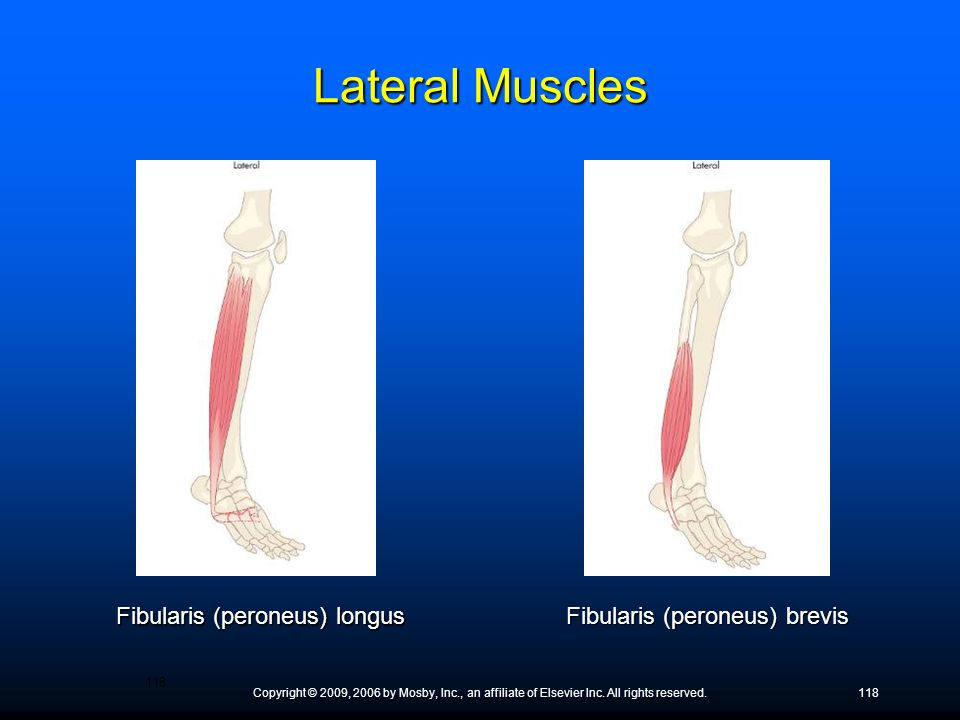 Lateral Muscles Fibularis (peroneus) longus