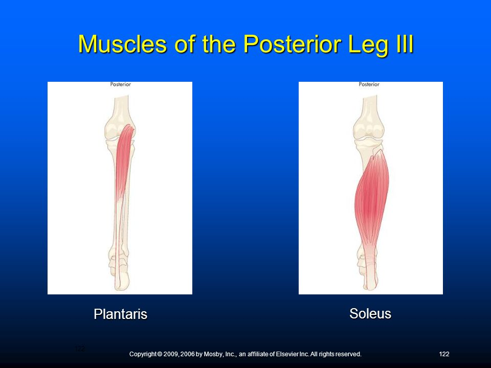 Muscles of the Posterior Leg III