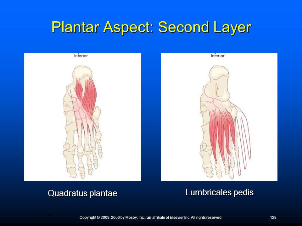 Plantar Aspect: Second Layer
