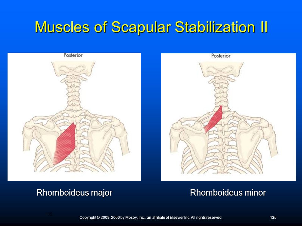 Muscles of Scapular Stabilization II