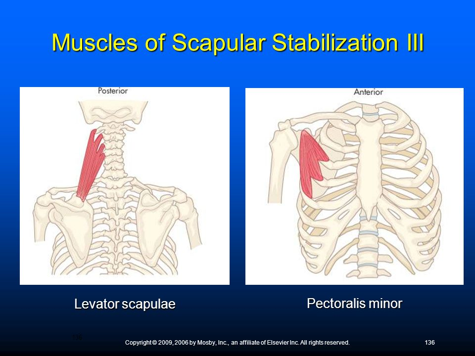 Muscles of Scapular Stabilization III