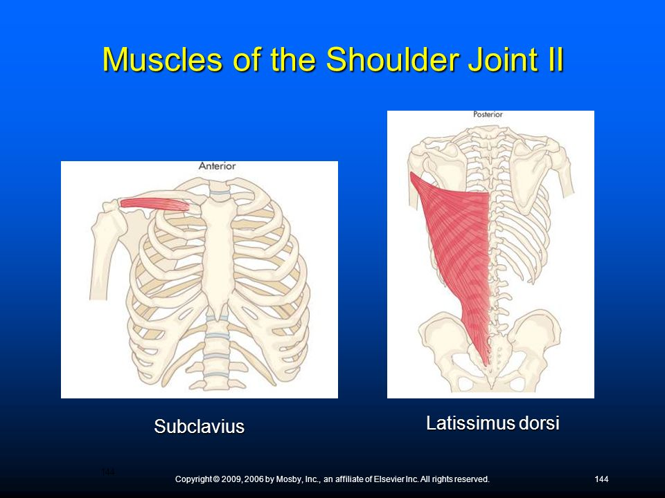 Muscles of the Shoulder Joint II