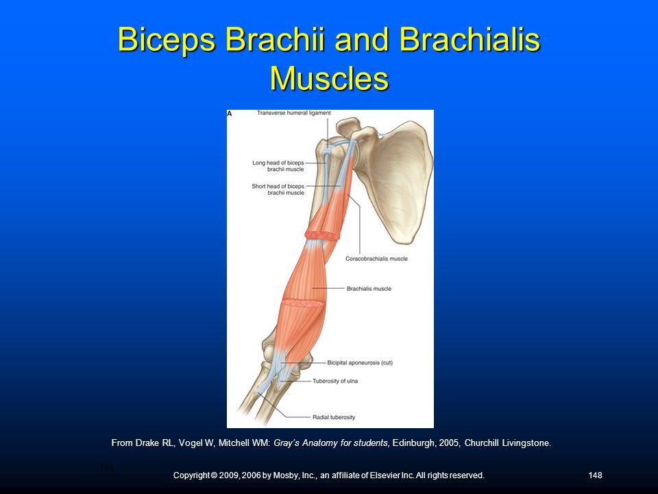Biceps Brachii and Brachialis Muscles