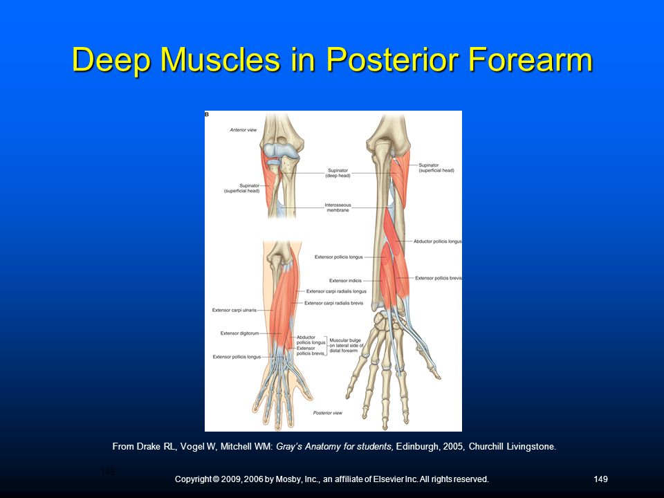 Deep Muscles in Posterior Forearm