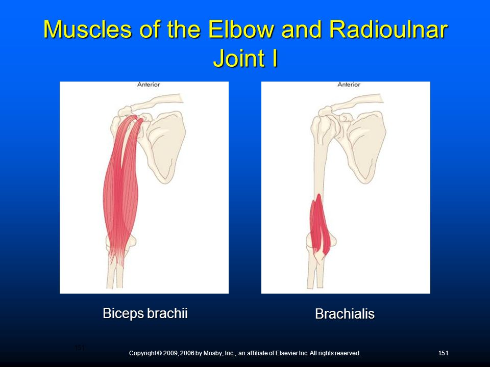 Muscles of the Elbow and Radioulnar Joint I