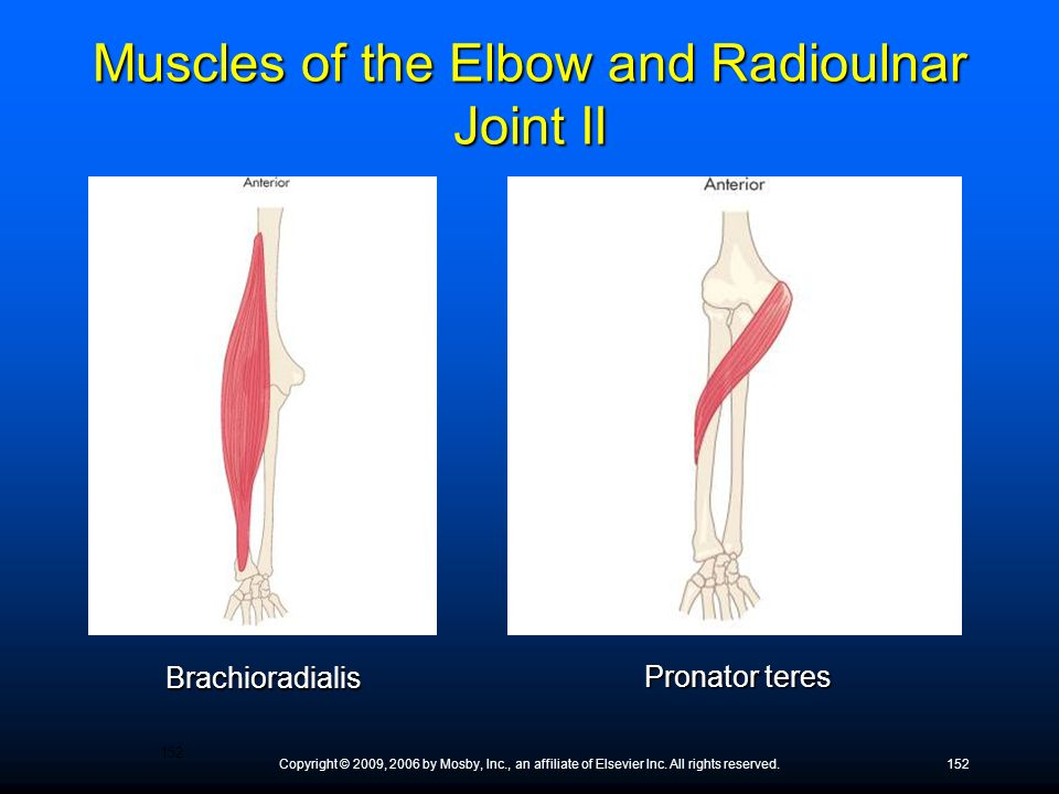 Muscles of the Elbow and Radioulnar Joint II