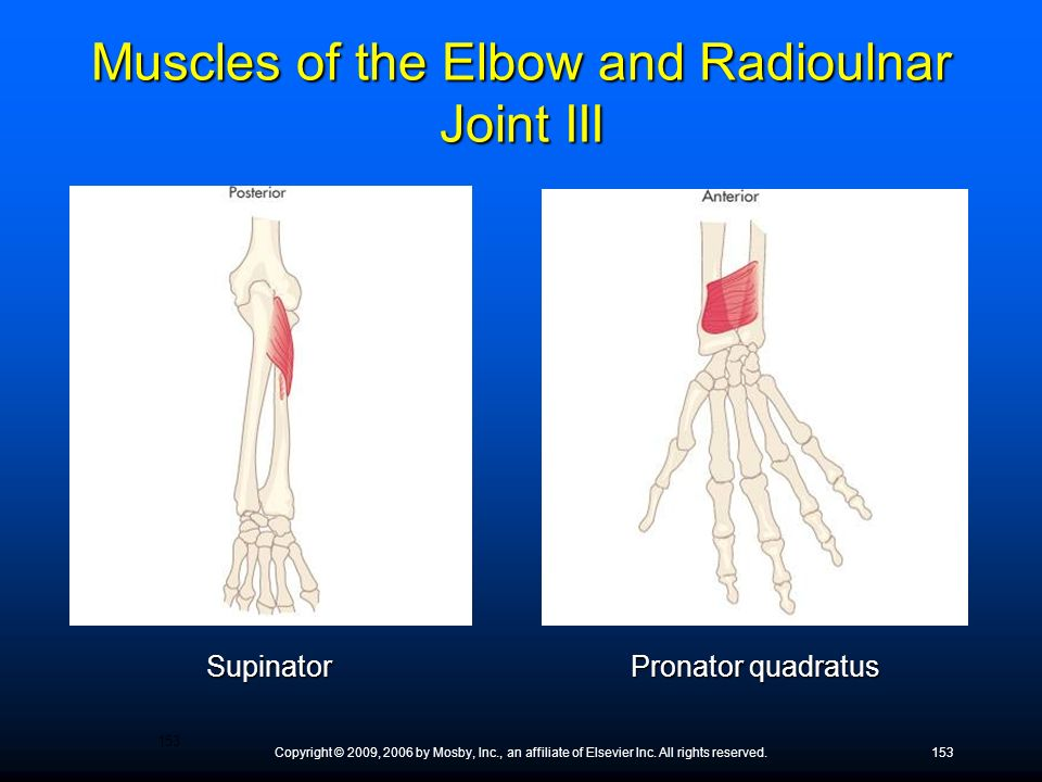Muscles of the Elbow and Radioulnar Joint III