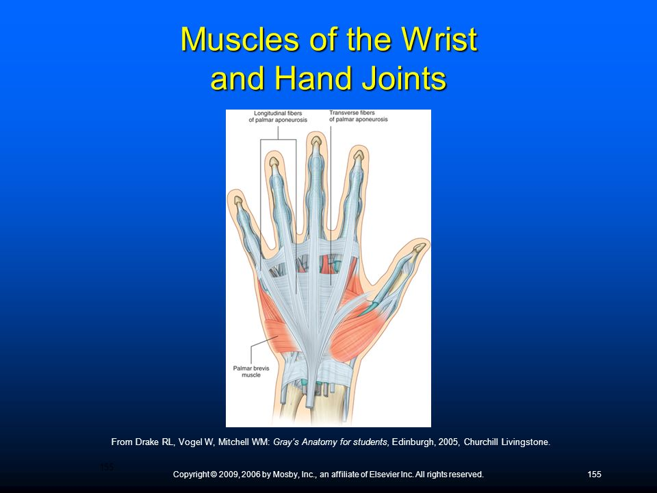 Muscles of the Wrist and Hand Joints