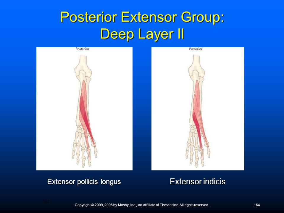 Posterior Extensor Group: Deep Layer II