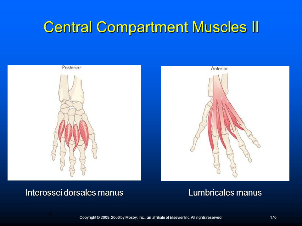 Central Compartment Muscles II