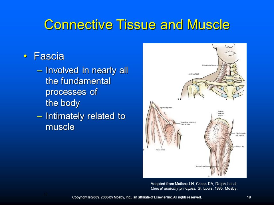 Connective Tissue and Muscle