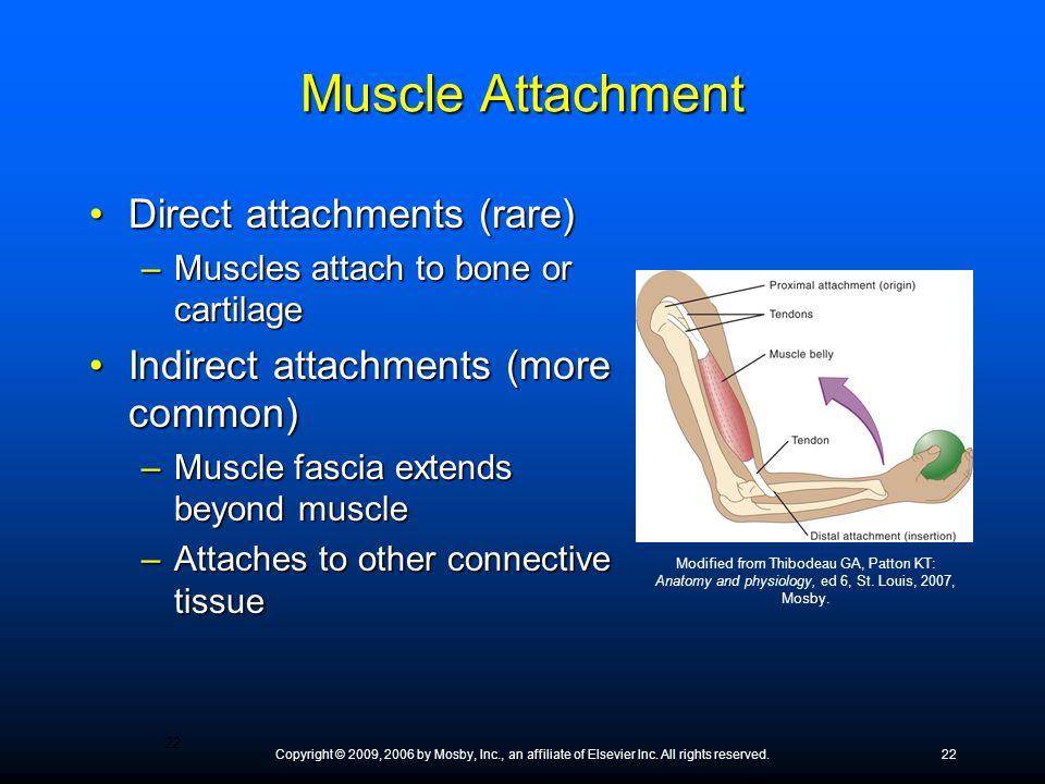 Muscle Attachment Direct attachments (rare)