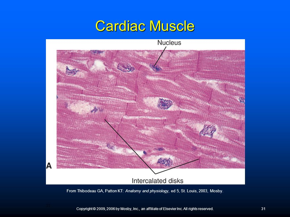 Cardiac Muscle ● What is another named for cardiac muscle