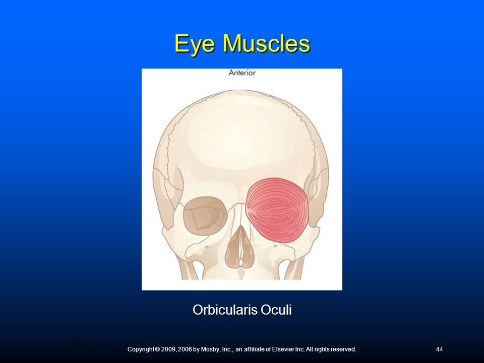 Eye Muscles Orbicularis Oculi
