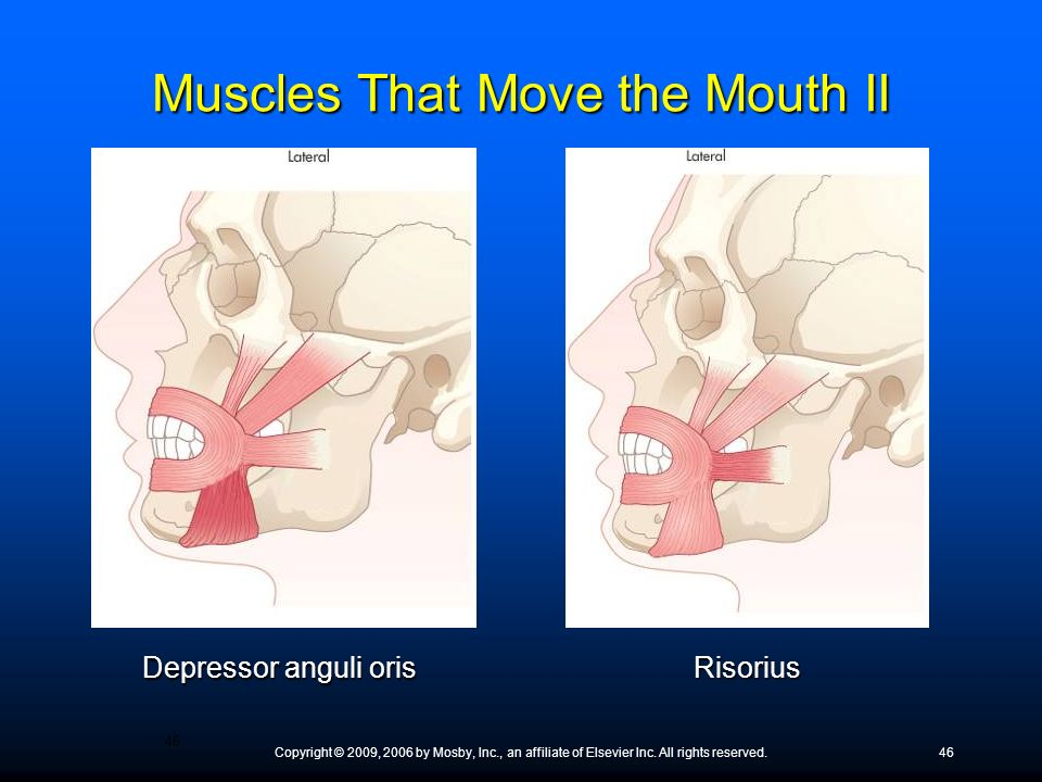 Muscles That Move the Mouth II