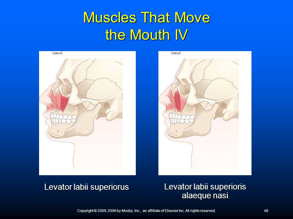 Muscles That Move the Mouth IV