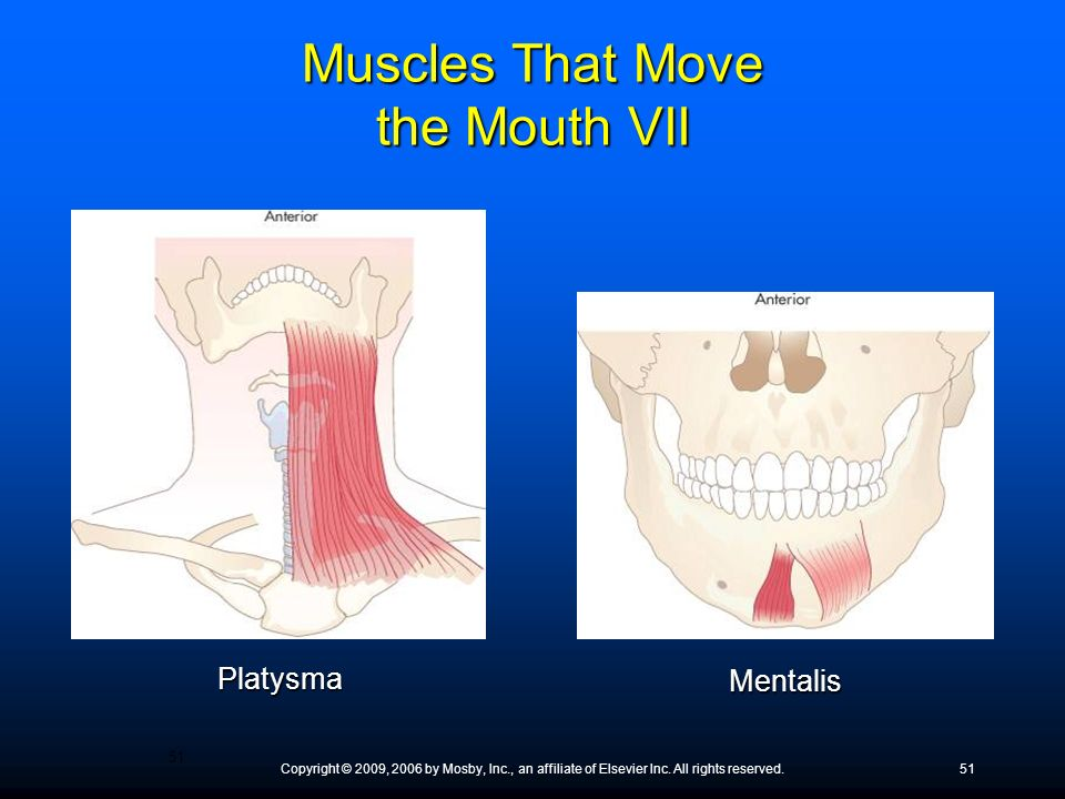 Muscles That Move the Mouth VII