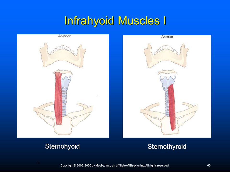Infrahyoid Muscles I Sternohyoid Sternothyroid