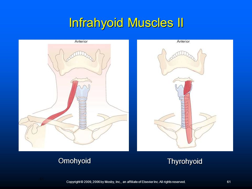 Infrahyoid Muscles II Omohyoid Thyrohyoid ● What does omohyoid mean