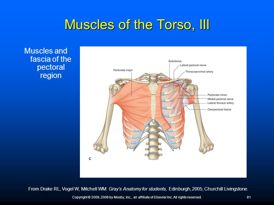Muscles of the Torso, III