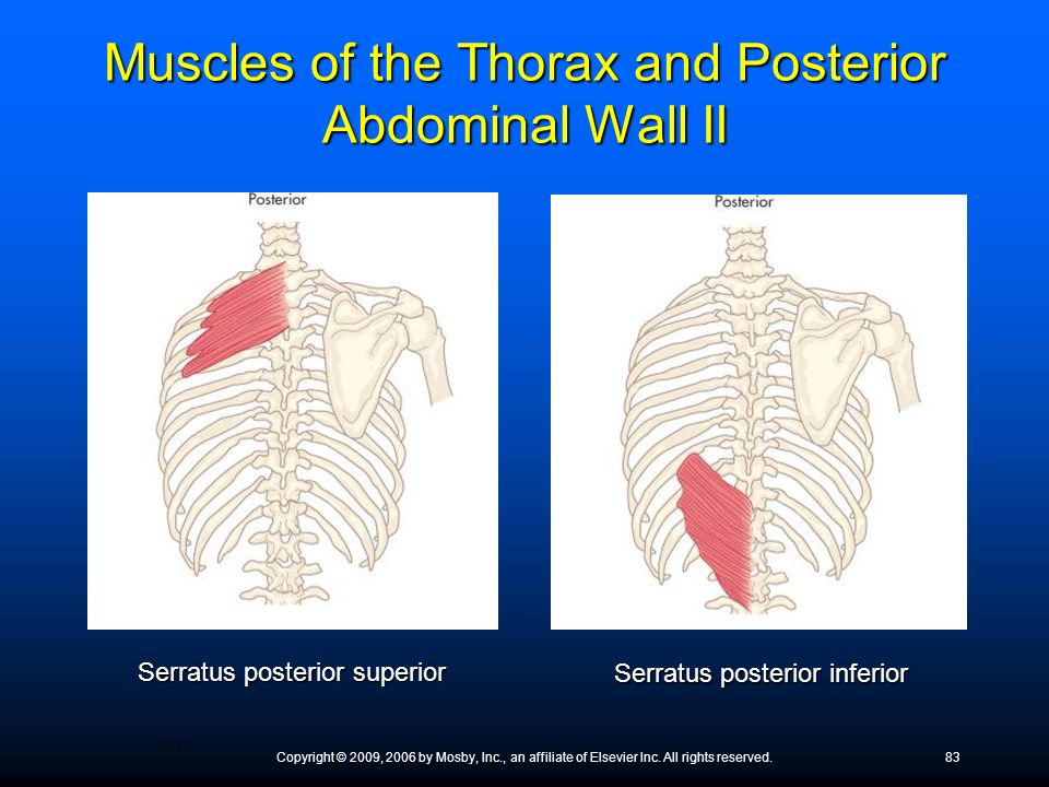 Muscles of the Thorax and Posterior Abdominal Wall II