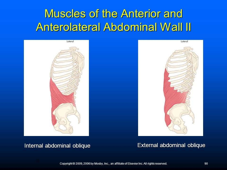 Muscles of the Anterior and Anterolateral Abdominal Wall II