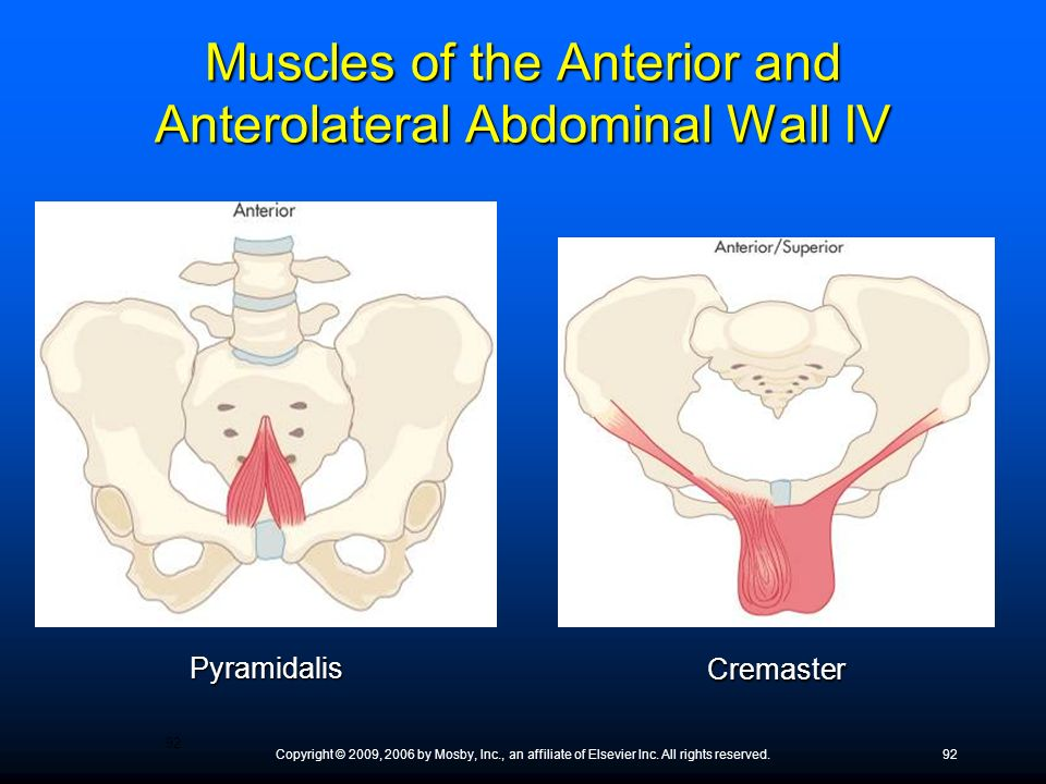 Muscles of the Anterior and Anterolateral Abdominal Wall IV