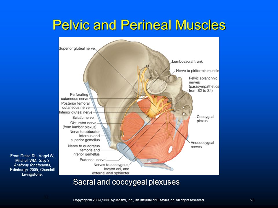 Pelvic and Perineal Muscles