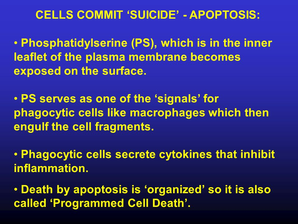 CELLS COMMIT 'SUICIDE' - APOPTOSIS: