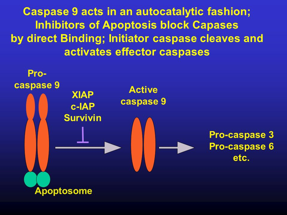 Caspase 9 acts in an autocatalytic fashion;