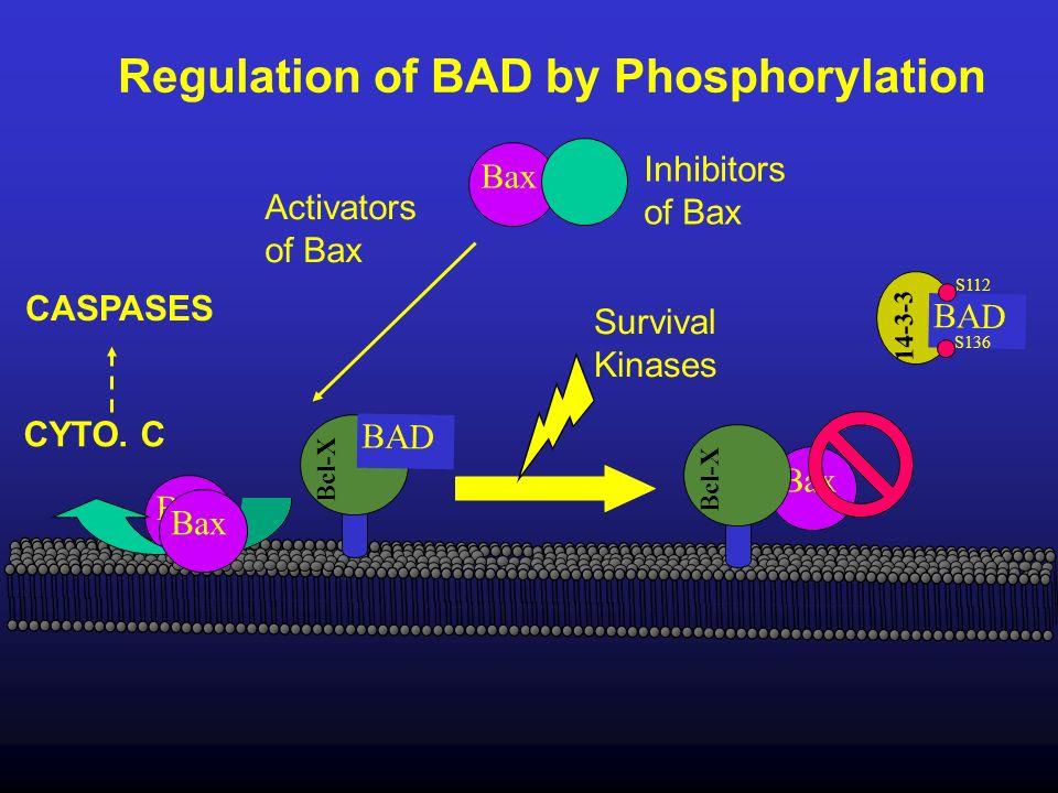 Regulation of BAD by Phosphorylation