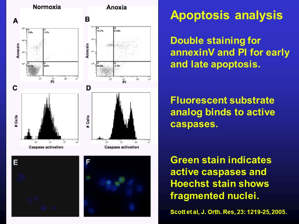 Apoptosis analysis Double staining for annexinV and PI for early and late apoptosis. Fluorescent substrate analog binds to active caspases.