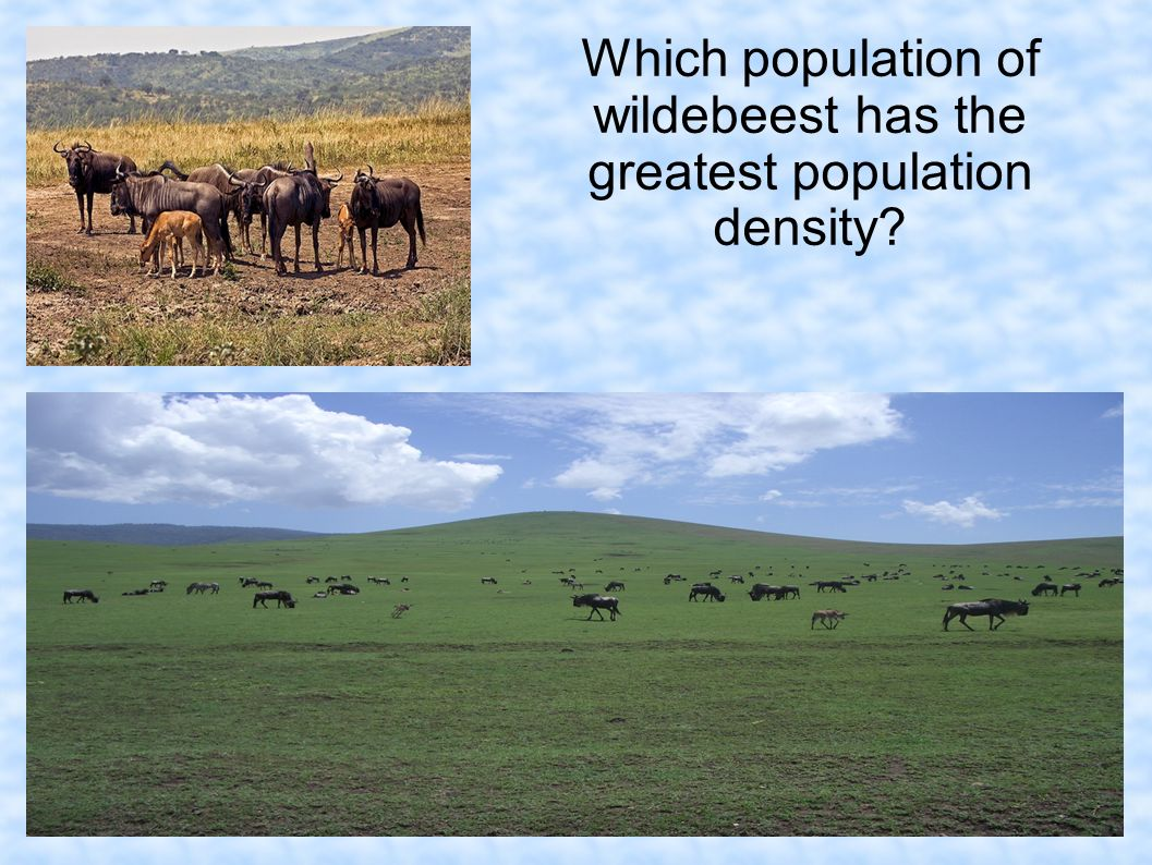 Which population of wildebeest has the greatest population density