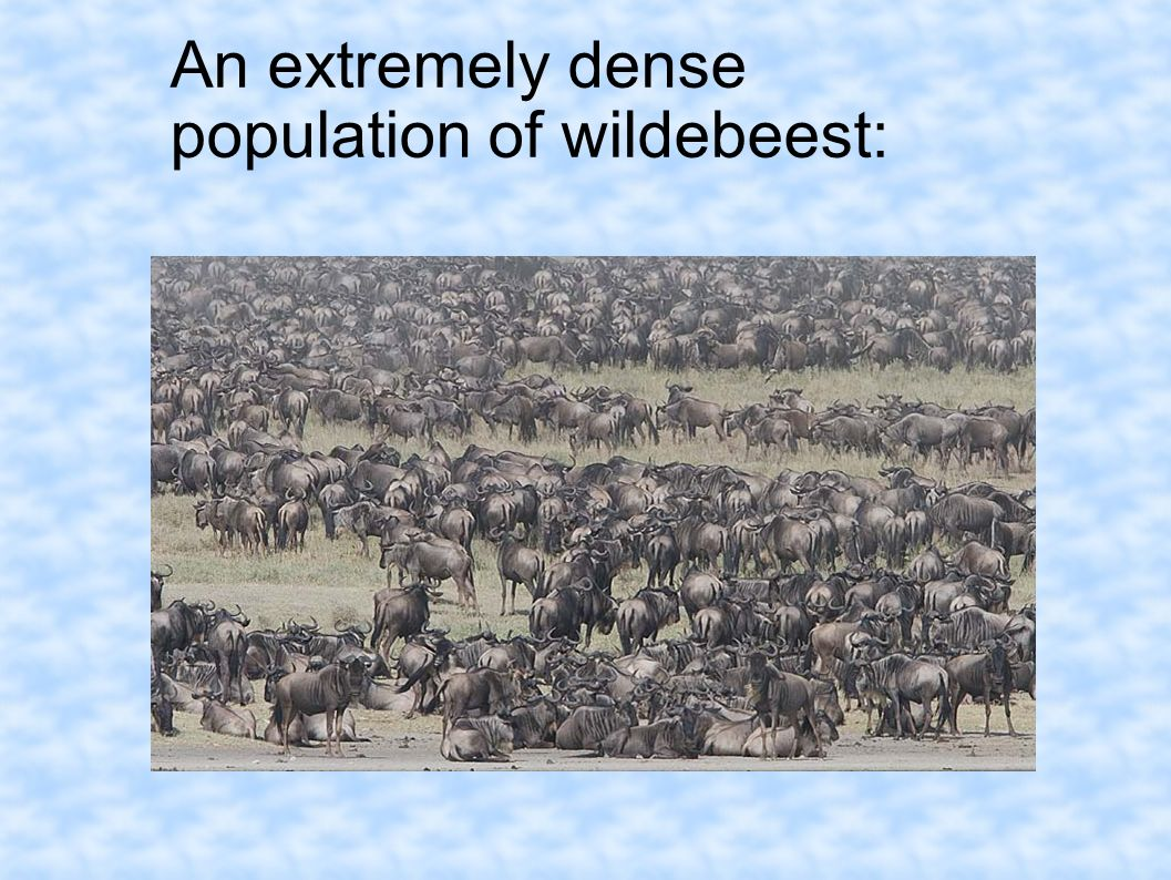 An extremely dense population of wildebeest: