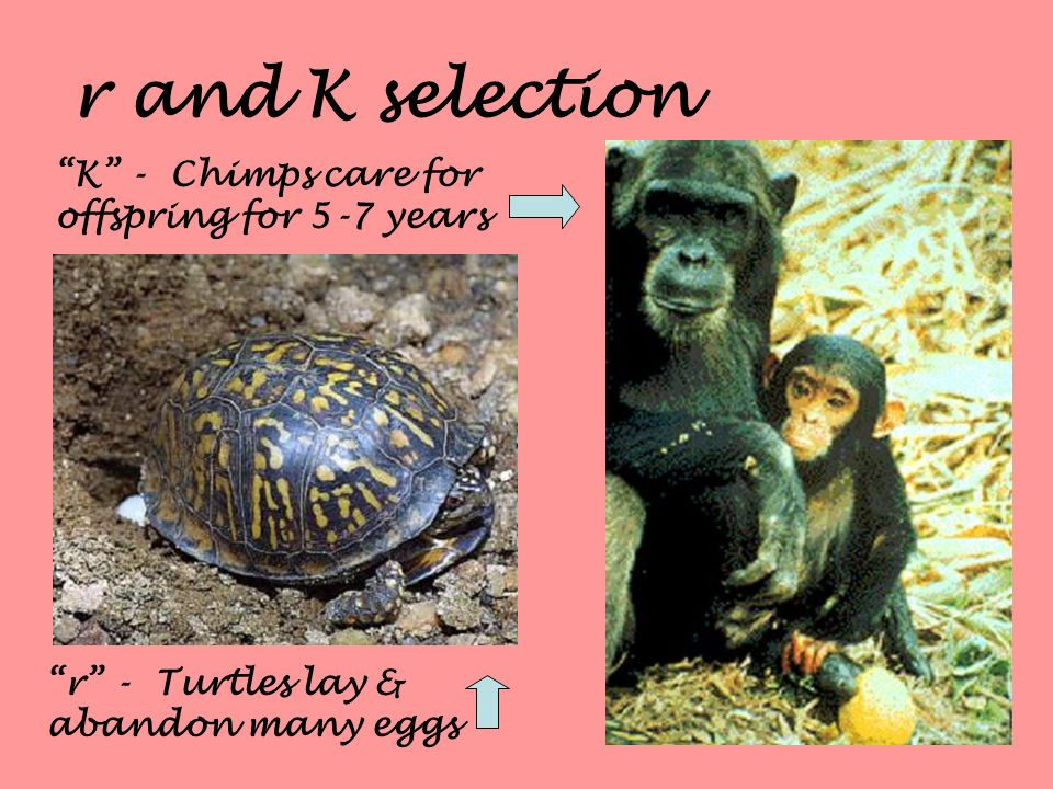 r and K selection K - Chimps care for offspring for 5-7 years