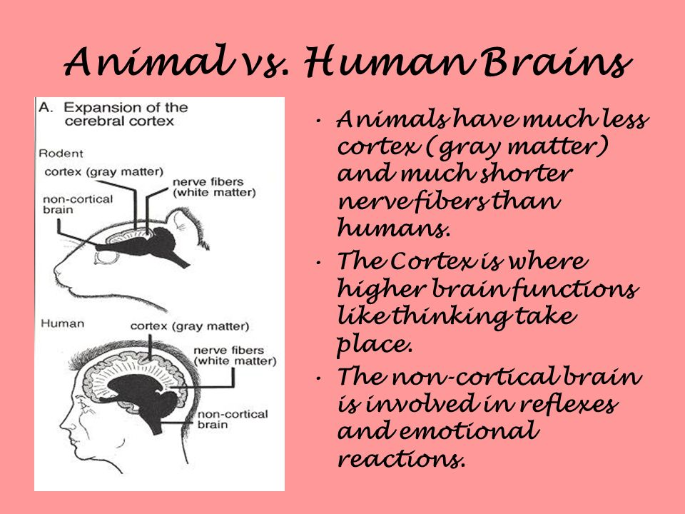 Animal vs. Human Brains Animals have much less cortex (gray matter) and much shorter nerve fibers than humans.