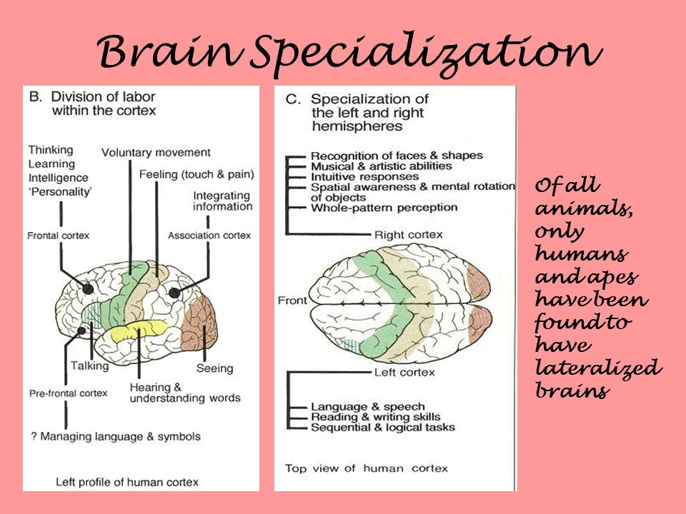 Brain Specialization Of all animals, only humans and apes have been found to have lateralized brains.
