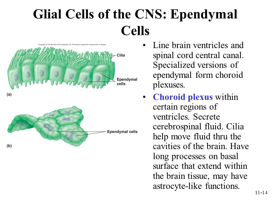 Glial Cells of the CNS: Ependymal Cells