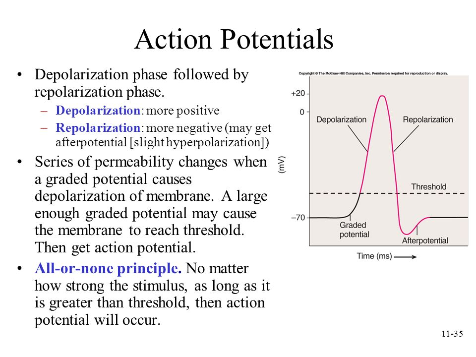 Action Potentials Depolarization phase followed by repolarization phase. Depolarization: more positive.