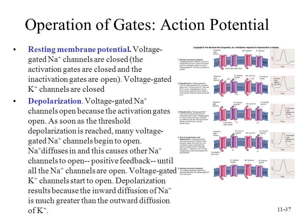 Operation of Gates: Action Potential