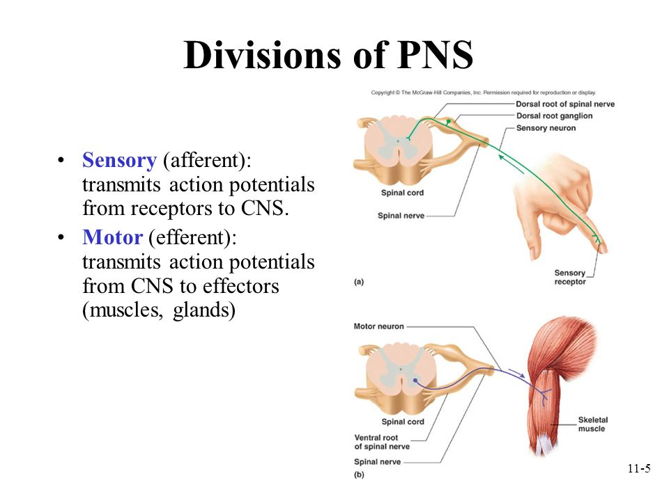 Divisions of PNS Sensory (afferent): transmits action potentials from receptors to CNS.