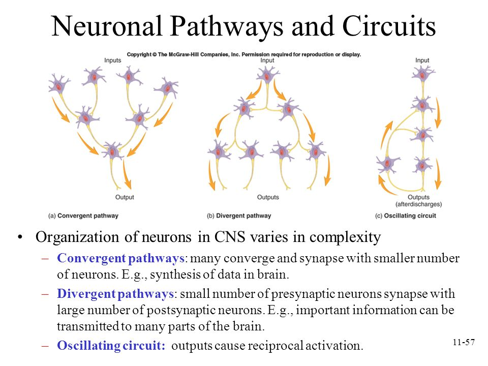 Neuronal Pathways and Circuits